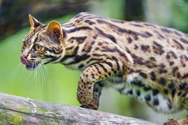 An Asian Leopard cat.