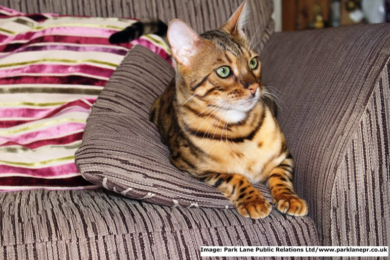 The Great Alne Big Cat mystery has been solved - Hiro the Bengal cat is the star of viral internet film.
